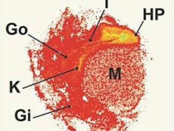 Microplastics penetrate organs quickly